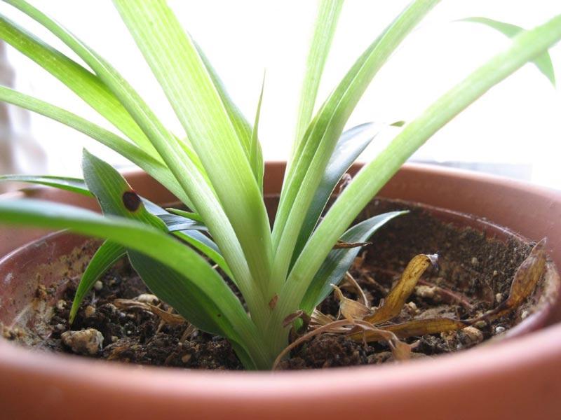 گیاه عنکبوتی-Spider-Plant