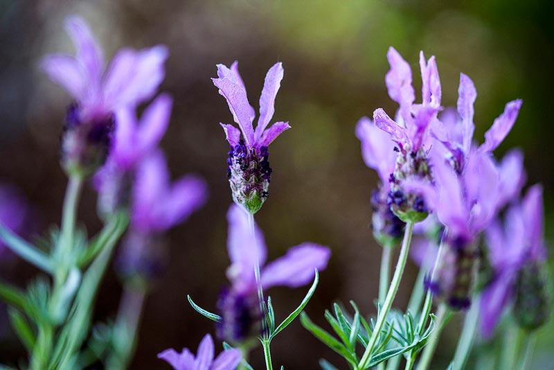 اسطوخودوس-Lavender