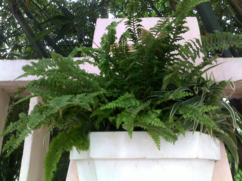 سرخس برگ شمشیری-Boston-Fern