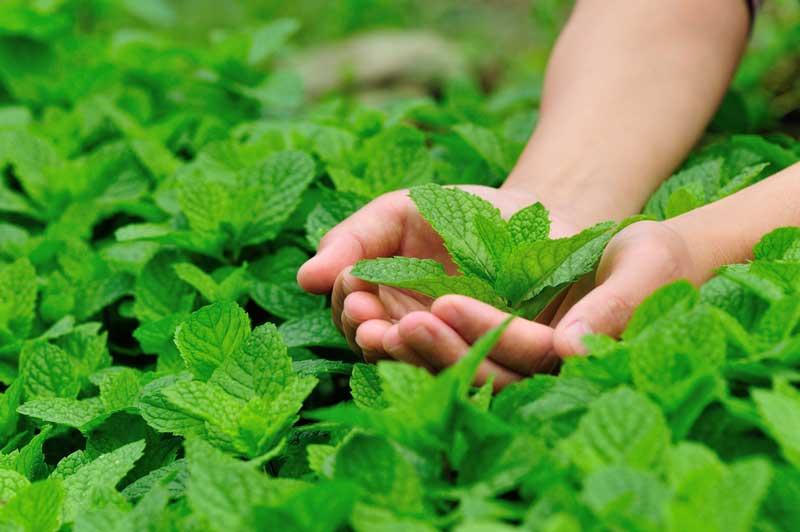 9 دلیل برای اینکه باید گیاه نعناع را در منزل پرورش دهید؛