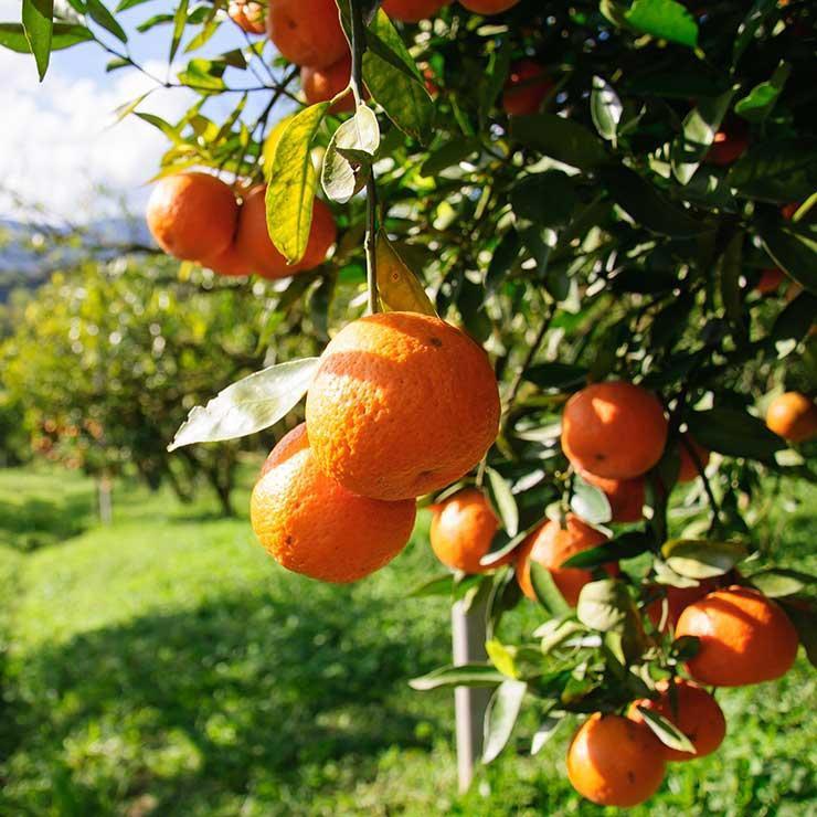 منبع غذایی ویتامین c,پرتقال