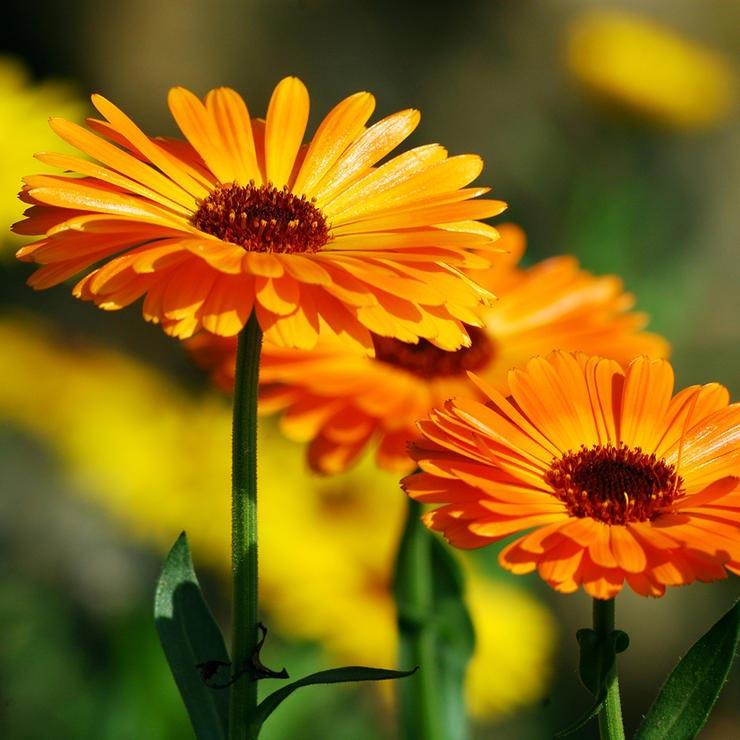 برای درمان آفتاب سوختگی چه بخوریم,calendula-کالاندولا