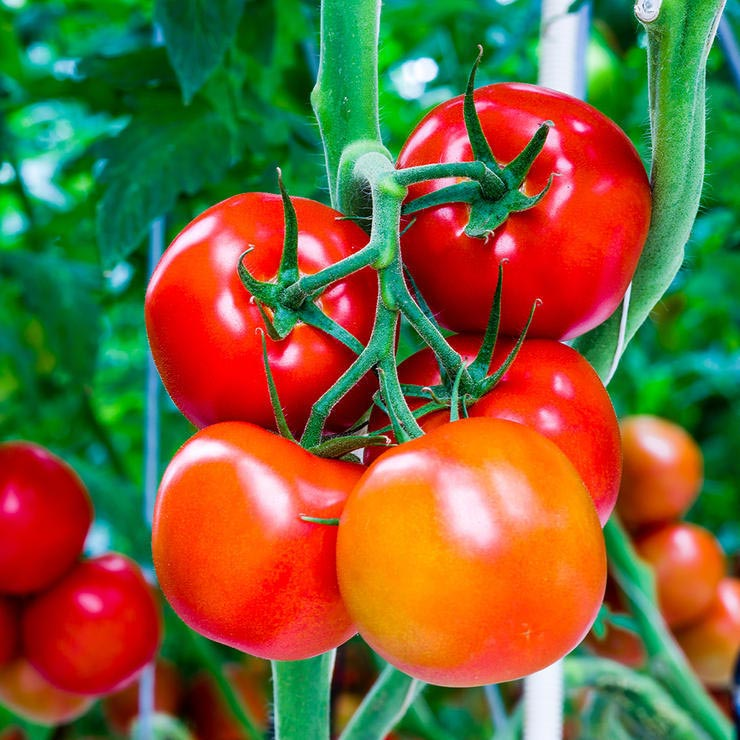 برای درمان آفتاب سوختگی چه بخوریم,tomatoes-گوجه فرنگی