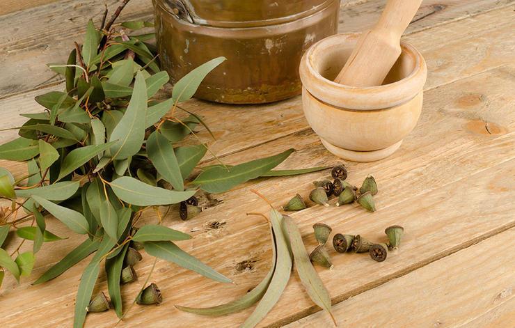 داروی گیاهی درمان سرماخوردگی,eucalyptus-اکالیپتوس