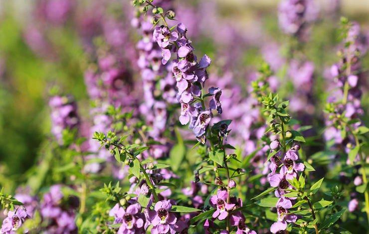 داروی گیاهی درمان سرماخوردگی,hyssop-زوفا