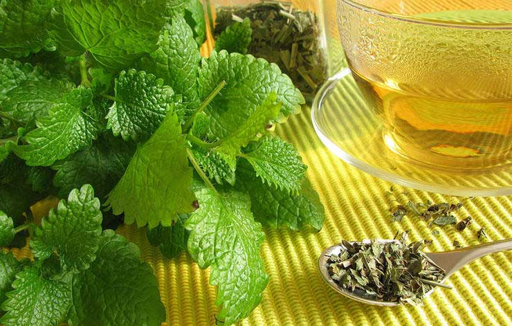 داروی گیاهی درمان سرماخوردگی,lemon-balm-فرنجمشک