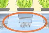 ریشه در کشت هیدروپونیک