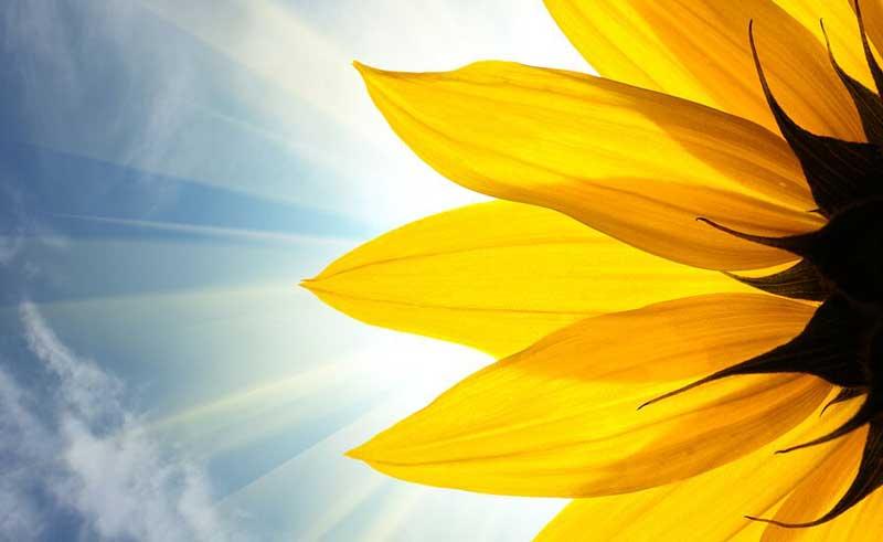 دانه های افتاب گردان sunflower-closeup