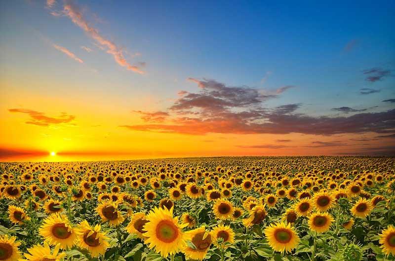 مزرعه گل آفتابگردان sunflower-field