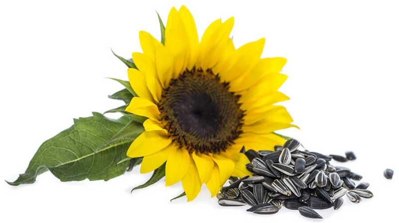 خواص دانه آفتابگردان | موارد استفاده و ارزش غذایی تخمه آفتابگردان