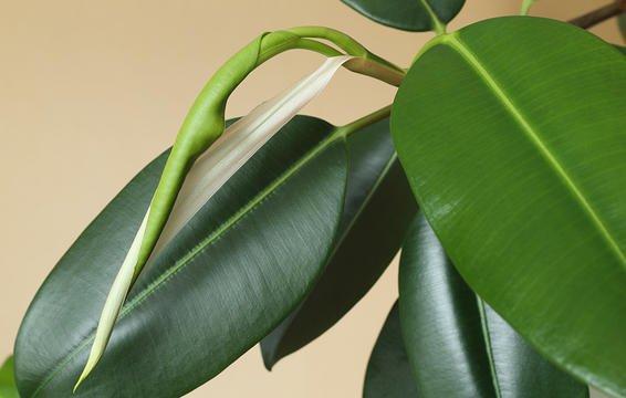 گیاهان آپارتمانی به نیاز به آبدهی و مراقبت کم