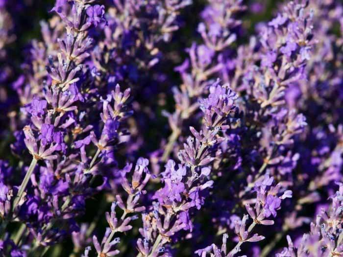 خواص اسطوخودوس - 7 خاصیت اسطوخودوس برای سلامت و زیبایی