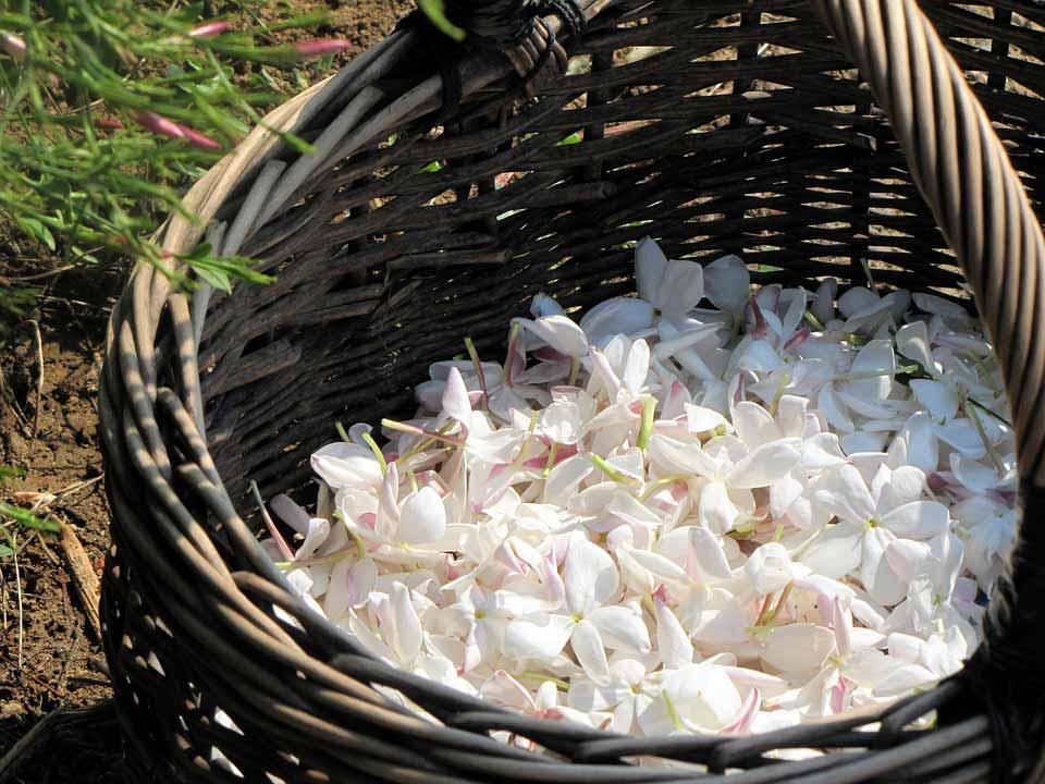 گل یاسمن و خواص روغن آن