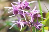 علف بز شاخدار (گیاه اپیمدیوم)