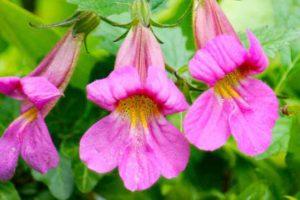 گیاه رهمانیا چیست و چه خواصی دارد؟