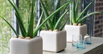 موارد مهم برای نگهداری گل و گیاه آپارتمانی آلوئه ورا در آپارتمان