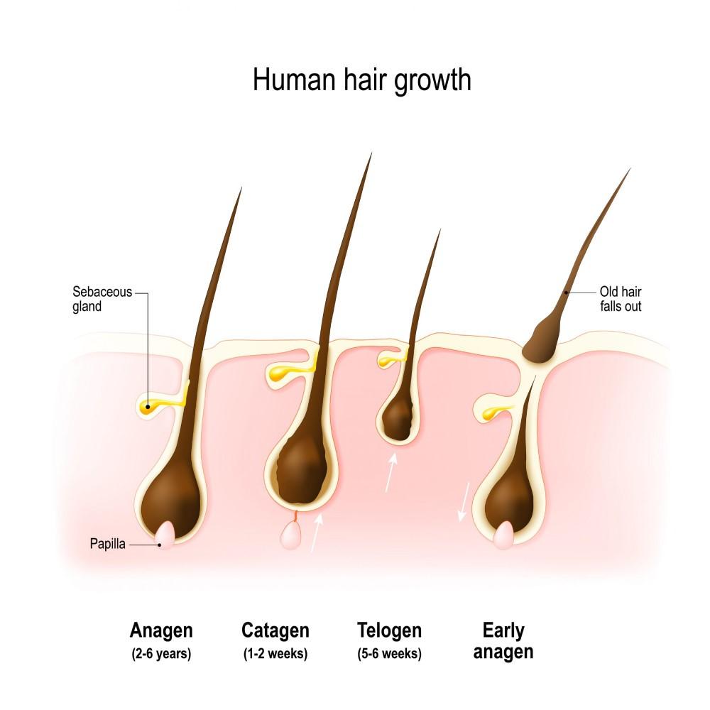 چرخه رشد مو