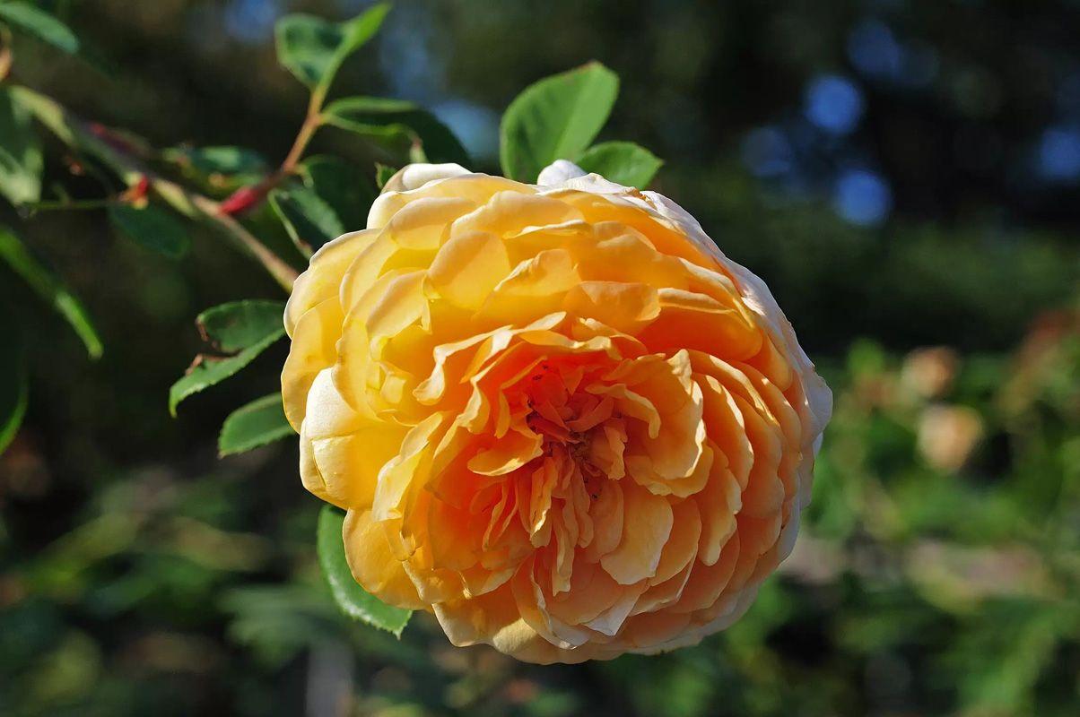 نگهداری از گل رز در خانه
