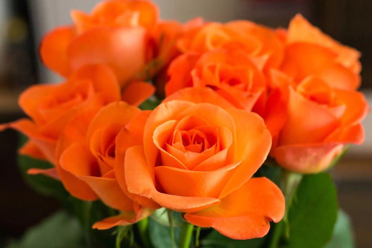 گل رز Grandiflora